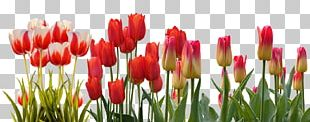 Flower Tulip Spring March Equinox Hyacinth PNG