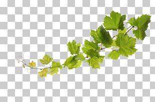 Common Grape Vine Sultana Grape Leaves PNG
