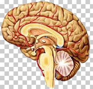 Human Brain Agy Structure Nervous System PNG