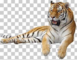 Siberian Cat Lion Leopard Felidae Kitten PNG