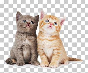 British Shorthair Ragdoll Chartreux Kitten Dog PNG