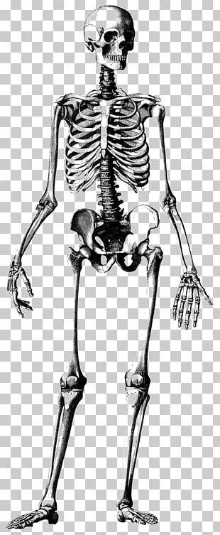 Human Skeleton Skull Drawing Anatomy Illustration PNG