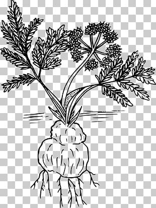 Woody Plant Line Art Drawing Lomatium Cous PNG