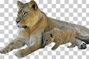 Sphynx Cat Lion Cubs Kitten Tiger PNG