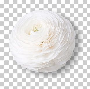 White Flower Ranunculus Asiaticus Petal Color PNG