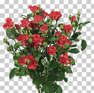 Garden Roses Cabbage Rose China Rose Floribunda Memorial Rose PNG