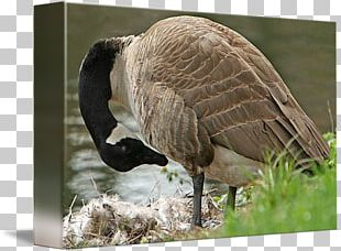 Goose Feather Beak Wildlife Terrestrial Animal PNG