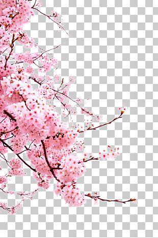 Cherry Blossom Flower PNG