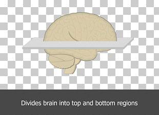 Horizontal Plane Brain Angle Table PNG