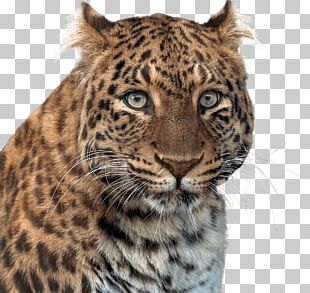 Panther Head PNG