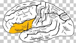 Angular Gyrus Supramarginal Gyrus Inferior Frontal Gyrus Parietal Lobe PNG