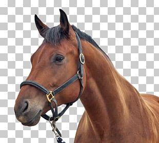 Stallion Arabian Horse Equestrian Horse Head Mask PNG
