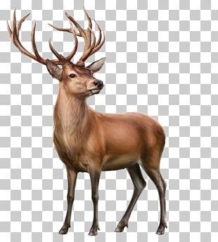 Elk Reindeer Animal PNG