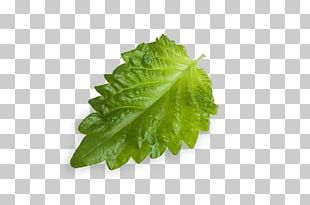 Leaf Dietary Fiber Romaine Lettuce Food Stevia PNG