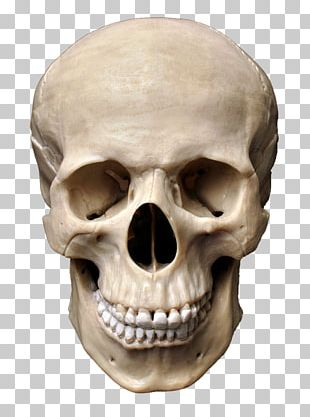 Skull Human Skeleton Stock Photography Homo Sapiens Bone PNG