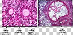 Ovarian Follicle Oocyte Theca Of Follicle Embryology Female Reproductive System PNG