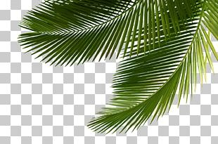 Arecaceae Asian Palmyra Palm Leaf Tree Sabal Palm PNG