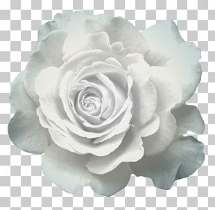 Garden Roses Cabbage Rose Cut Flowers Pink Flowers PNG