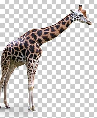 Portable Network Graphics Transparency Northern Giraffe PNG