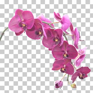 Moth Orchids Flower Singapore Orchid Portable Network Graphics PNG