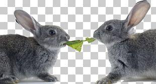 Hare Netherland Dwarf Rabbit Easter Bunny Cat Domestic Rabbit PNG