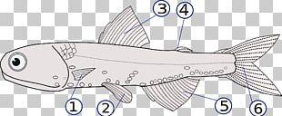 Vertebrate Fish Fin Dorsal Fin PNG