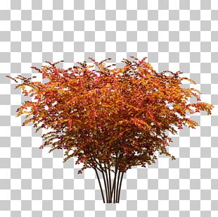 Red Maple Tree Maple Leaf Plant PNG