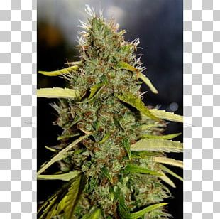 Cannabidiol Haze Marijuana Cannabis Sativa PNG