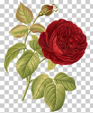Rose Botany Botanical Illustration Flower Illustration PNG
