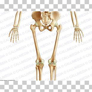 Pelvis Human Body Human Skeleton Anatomy Bone PNG