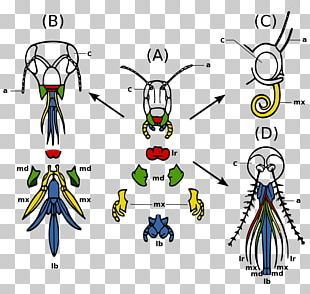 Insect Mouthparts Mosquito Arthropod Mouthparts Insect Morphology PNG