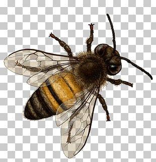 Honey Bee Insect Bombus Terrestris Hornet PNG