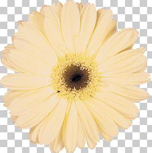Daisy Family Cut Flowers Transvaal Daisy Chrysanthemum PNG