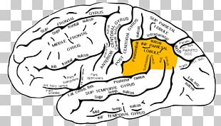 Inferior Parietal Lobule Parietal Lobe Inferior Frontal Gyrus Superior Parietal Lobule Lobes Of The Brain PNG