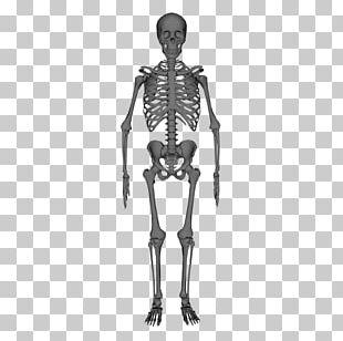Human Skeleton Anatomy Stock Photography PNG