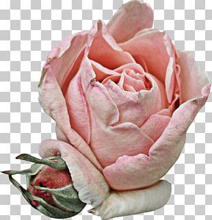 Garden Roses Cabbage Rose Petal Pink Flower PNG