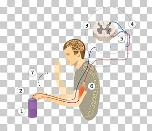 Reflex Arc Patellar Reflex Spinal Cord Stretch Reflex PNG
