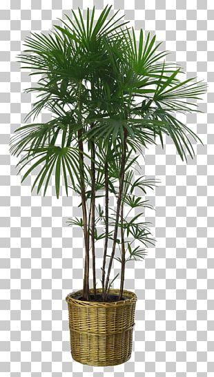 Flowerpot Howea Forsteriana Houseplant Garden PNG