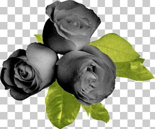 Garden Roses Flower Black Beach Rose PNG