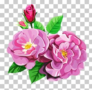Centifolia Roses Garden Roses Flower Bouquet PNG