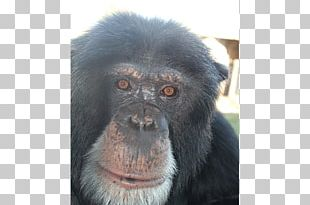 Common Chimpanzee Gorilla Primate Monkey Siamang PNG