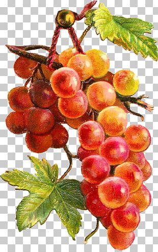 Fruit Grape Watercolor Painting Vegetable PNG