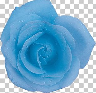 Centifolia Roses Blue Rose Flower Aqua PNG