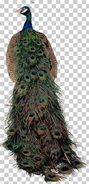Pavo Bird Asiatic Peafowl Feather PNG