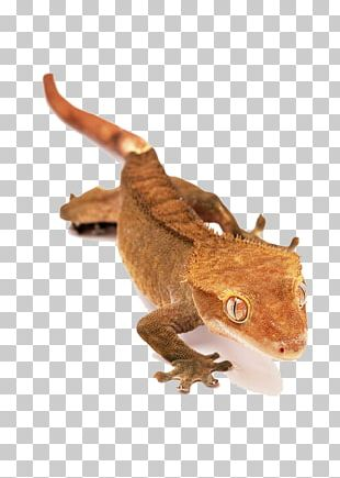 Lizard Reptile Crested Gecko Snake PNG