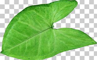 Plant Pathology Leaf Herb PNG