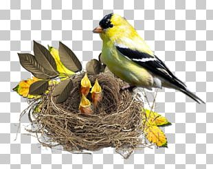 Bird Nest Finch Monotropa Hypopitys PNG