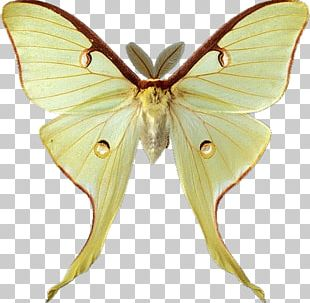 Butterfly Luna Moth PNG