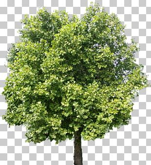 Tree Adobe Photoshop Elements PNG