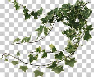 Common Ivy Vine Leaf Variegation Hedera Colchica PNG